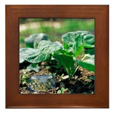Brussels sprout plant - Framed Tile