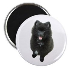 Adorable Black Pomeranian Puppy Dog Magnet