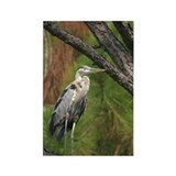 Great Blue Heron in Pine Rectangle Magnet
