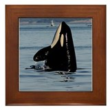 Spy Hopping Orca Framed Tile