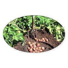 Potato crop - Decal