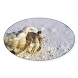 Juvenile land hermit crab - Decal
