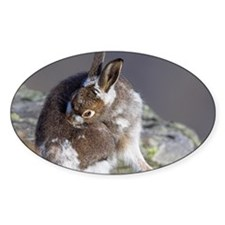 Mountain hare moulting - Decal