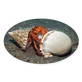 Scarlet hermit crab - Decal