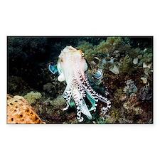 Broadclub cuttlefish male - Decal