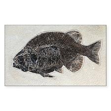 Phareodus fossil fish - Decal
