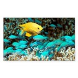 reen chromis - Decal