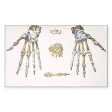 Hand bones and ligaments - Decal