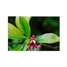 Daphne odora 'Aureomarginata' - Rectangle Magnet