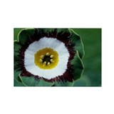 Show auricula 'Tosca' flower - Rectangle Magnet