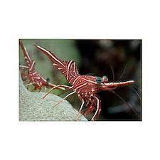 Hingebeak shrimp on a reef - Rectangle Magnet