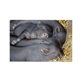 Vietnamese pot-bellied piglets - Rectangle Magnet