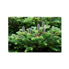 Korean fir (Abies koreana) - Rectangle Magnet