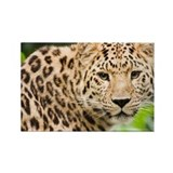 Amur leopard - Rectangle Magnet