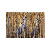 Greater sandhill cranes - Rectangle Magnet