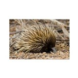Short-beaked echidna - Rectangle Magnet