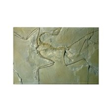 Archaeopteryx fossil - Rectangle Magnet (10 pk)
