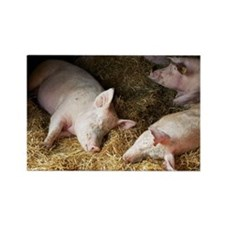 Sleeping pigs - Rectangle Magnet (10 pk)