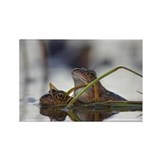 Common frogs mating - Rectangle Magnet (100 pk)