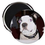 BLUE EYED BOSTON TERRIER DOG Magnet