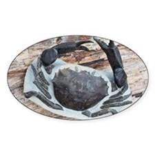 Chaceon fossil crab - Decal
