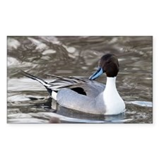 Male pintail - Decal