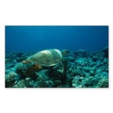 Olive ridley turtle - Decal