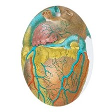 Heart anatomy, artwork - Oval Ornament