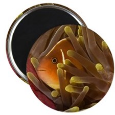 "Anemone Fish 2.25"" Magnet (10 pack)"