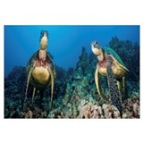 [Dc] Hawaii, Green Sea Turtles (Chelonia Mydas), A