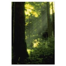 Sunbeams In Forest Of California Redwoods