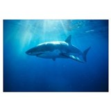 Australia, Great White Shark, White Pointer (Carch