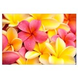 Close-Up Of Yellow And Pink Plumeria Flowers, Wate