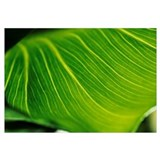 Extreme Close-Up Of Calla Lily Leaf