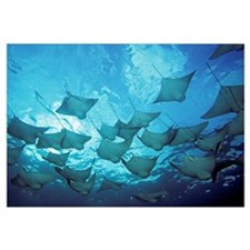 Galapagos Islands, School Of Cownose Rays (Rhinopt