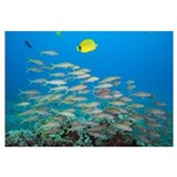 Hawaii, A School Of Yellowfin Goatfish (Mulloidich