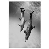 Caribbean, Bahamas, Three Spotted Dolphins Pointed
