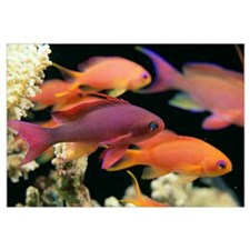 Fiji, One Male And Several Female Lyretail Anthias