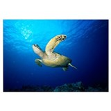 Hawaii, Green Sea Turtle (Chelonia Mydas) Swims Ne