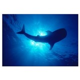 Hawaii, Whale Shark Backlit By Sunburst (Rhincodon