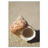 Tapestry Turban Seashell (Turbo Petholatus) Laying