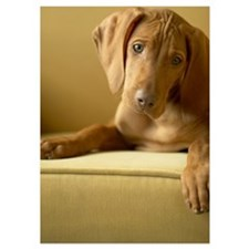 Hungarian Vizsla puppy sitting on s 5x7 Flat Cards