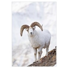 Dall Sheep Ram On Sheep Mountain, Kluane National