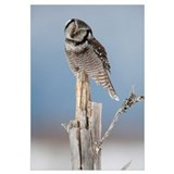 Northern Hawk Owl Perched On Snag On Copper River