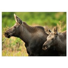 Moose Cow And Her Calf In Chugach State Park, Sout