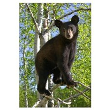 Black Bear Cub In Tree, Minnesota