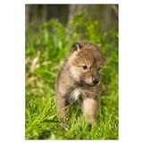 Wolf Pup In Grass, Minnesota