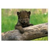 Wolf Pup On A Log, Minnesota
