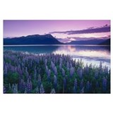 Field of Lupine near Turnagain Arm at Sunset, Sout