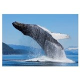 Humpback Whale Breaches In Chatham Strait, Inside